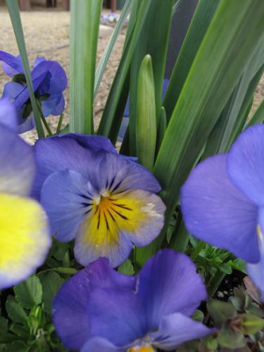 ビオラ (植物)の画像 p1_18